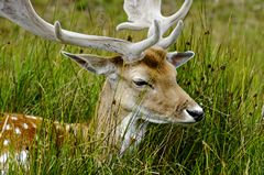 A close-up photo of a male Fallow Deer, in the long grass at Bradgate Country Park, England. Link to Animals Gallery.